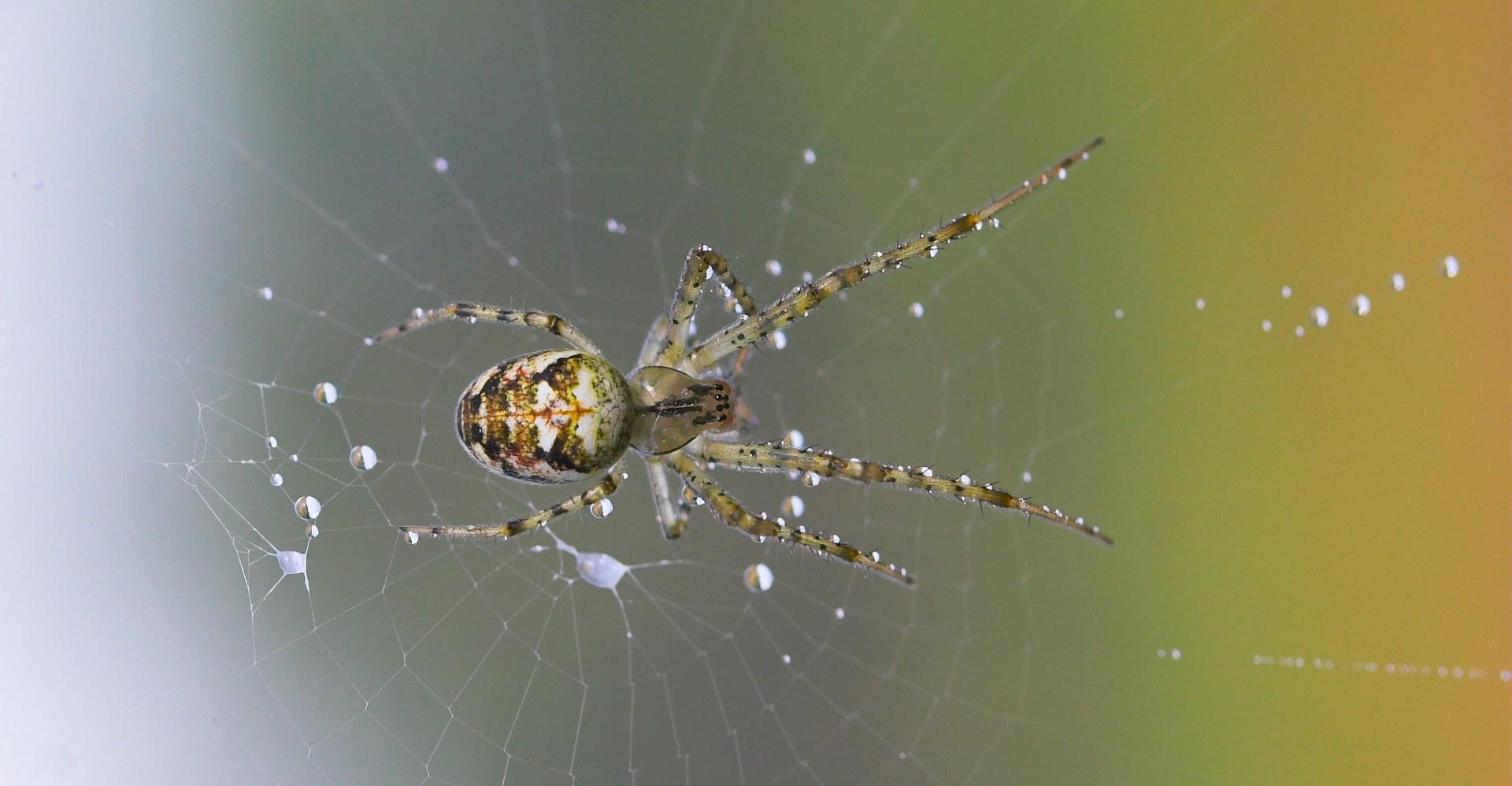 hvor mange edderkopper spiser man om året