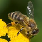 Honningbier kan huske vartegn
