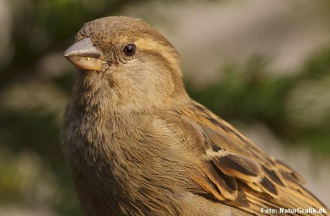Gråspurv. Blandt havens fugle er gråspurve og duer nogle af de mest salt-tolerante arter.