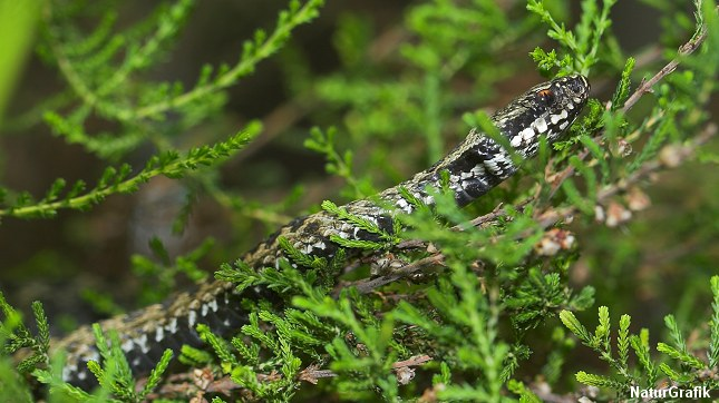 Hugormen kan være svær at få øje på når den skjuler sig i vegetationen.