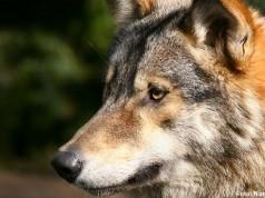 nøgen blandt ulve dansk ladyboy