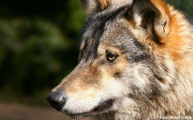 For første gang siden ulven blev udryddet, er der nu beviser for at hun-ulve er tilbage i landet.
