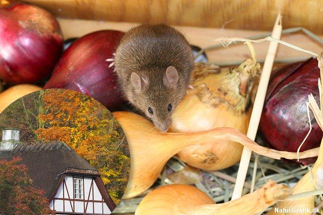 I takt med at vejret bliver koldere søger musene ind i vores huse.