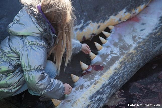 En pige forundres og betages af en strandet kaskelothval ved den jyske vestkyst.