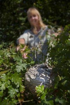Et hvepsebo på størrelse med en lille fodbold i havens hæk.