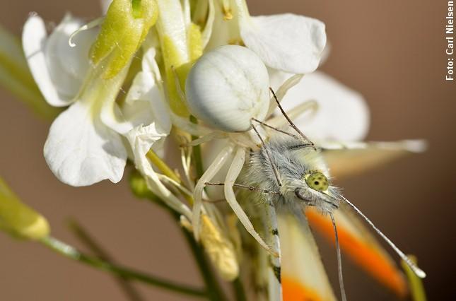 Kamæleonedderkoppen (Misumena vatia) er en sand mester i kamuflage. Den kan skifte farve, så den falder i ét med den hvide blomst. Her er en aurora-sommerfugl blevet overrasket. Foto: Carl Nielsen.