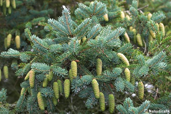 Hvidgranen er på retur i Danmark og plantes næsten ikke længere.