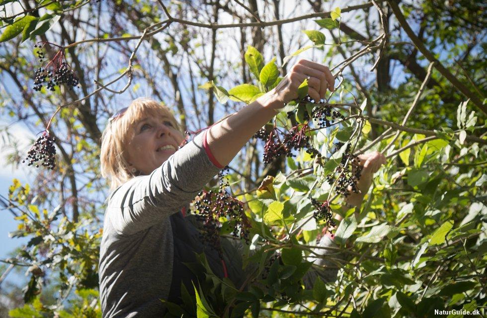 De modne hyldebær plukkes i september.