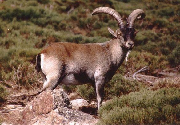 Den pyrenæiske ibex blev første gang erklæret uddød omkring år 2000. Arten minder meget om denne vestspanske ibex ( Capra pyrenaica victoriae), der også en overgang har været i fare for at uddø. Foto: Javier García Diz/ Wikimedia.