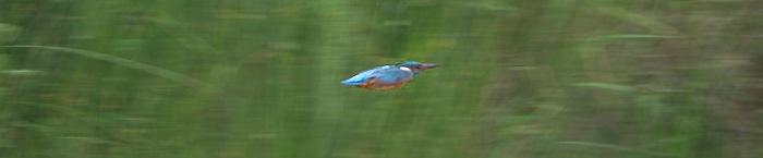 Oftest ser man kun et glimt af isfugl - som en farvestrålende raket lavt over vandet. Foto: Niels Lisborg/NaturGrafik.