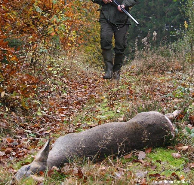 I følge Styrelsen for Vand og Naturforvaltning viser den foreløbige jagtstatistik at jægerne skyder færre rådyr - dog stadig over 100.000 om året.