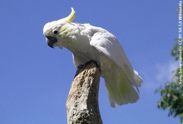 """Levende kakaduer forsøgt smuglet i plastik-vandflasker. Foto: """"Lesser-sulphur crested cockatoo 31l07"""" by Snowmanradio, CC BY-SA 3.0 via Wikimedia."""