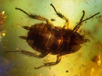 40-50 millioner gammel kakerlak indkapslet i rav. Foto: Anders L. Damgaard, amber-inclusions.dk, GFDL Wikipedia.