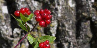 Giftige bær i naturen