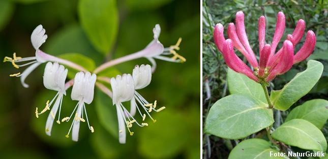 Vild kaprifolie har oftest hvide og gule blomster, men de kan også være rødlige.