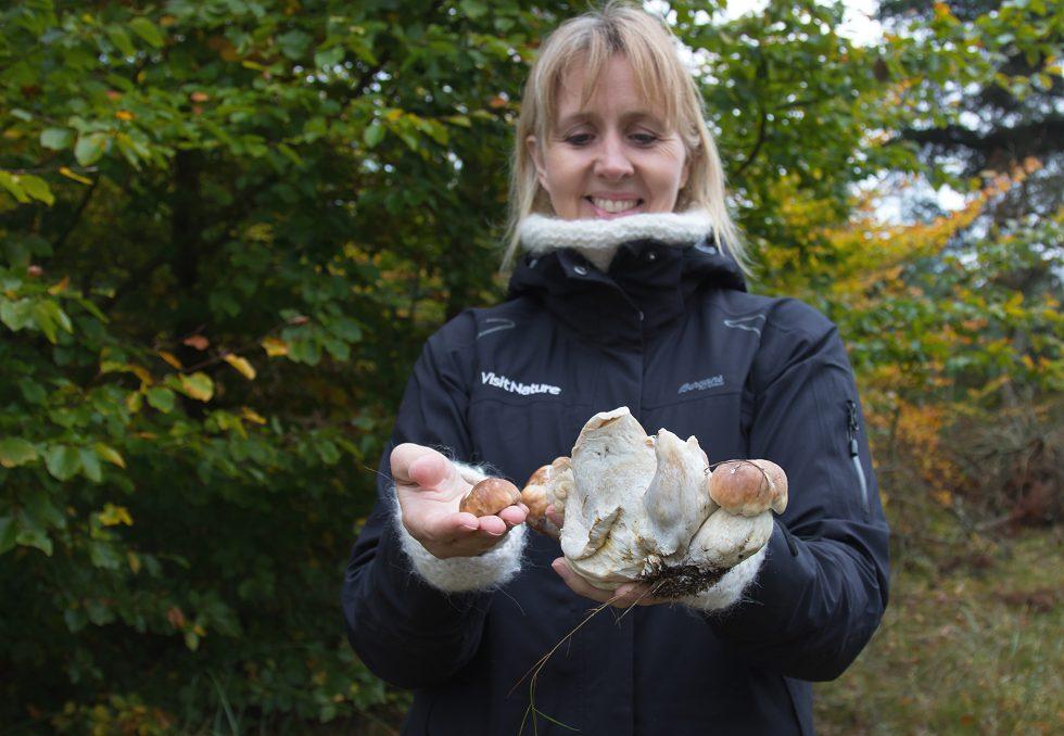 Bør noget af svampens stok efterlades? Her en kæmpestok af tre sammenvoksede Karl Johan-rørhatte.