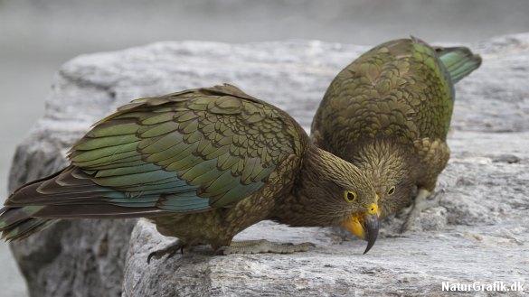 Den new zealandske kea-papegøje trues bl.a. af rotter indført fra Europa. Nu skal de invasive dyr bekæmpes med gift..