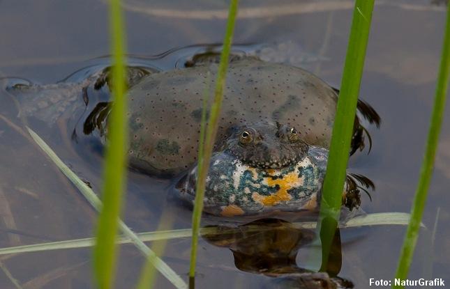 Klokkefrø-hannen frembringer en melodisk tone ved hjælp af kvækkeposen.