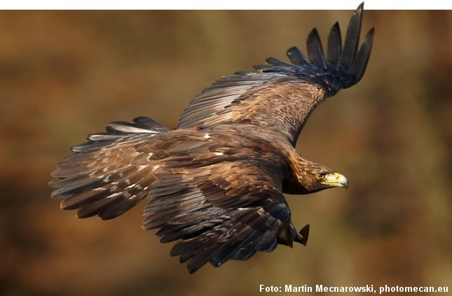 Kongeørnen lever af fuglevildt som f.eks. gæs eller mindre pattedyr som harer, men den kan også slå større dyr som ræv og rålam. Foto: Martin Mecnarowski, photomecan.eu.