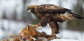 Kongeørn med ræv
