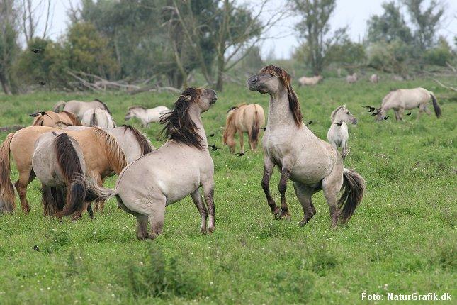 Store græssere tilbage i den danske natur? Her vilde konik-heste fotograferet i Holland.