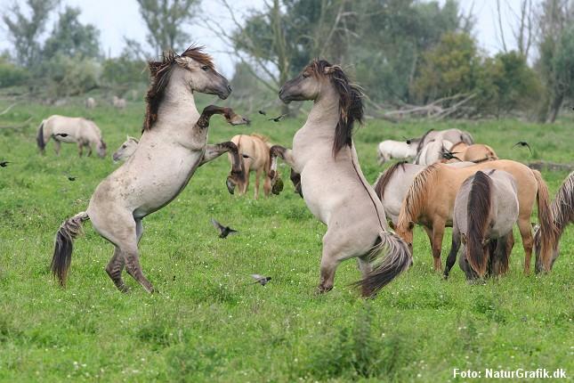 Vilde konik-heste. Her fotograferet i en hollandsk nationalpark.
