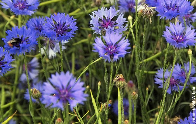 Blå kornblomster. Foto: David Wright, Wikipedia.