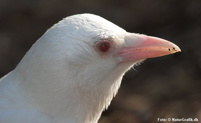 Albino-krage