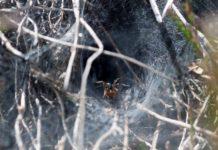 labyrintedderkop