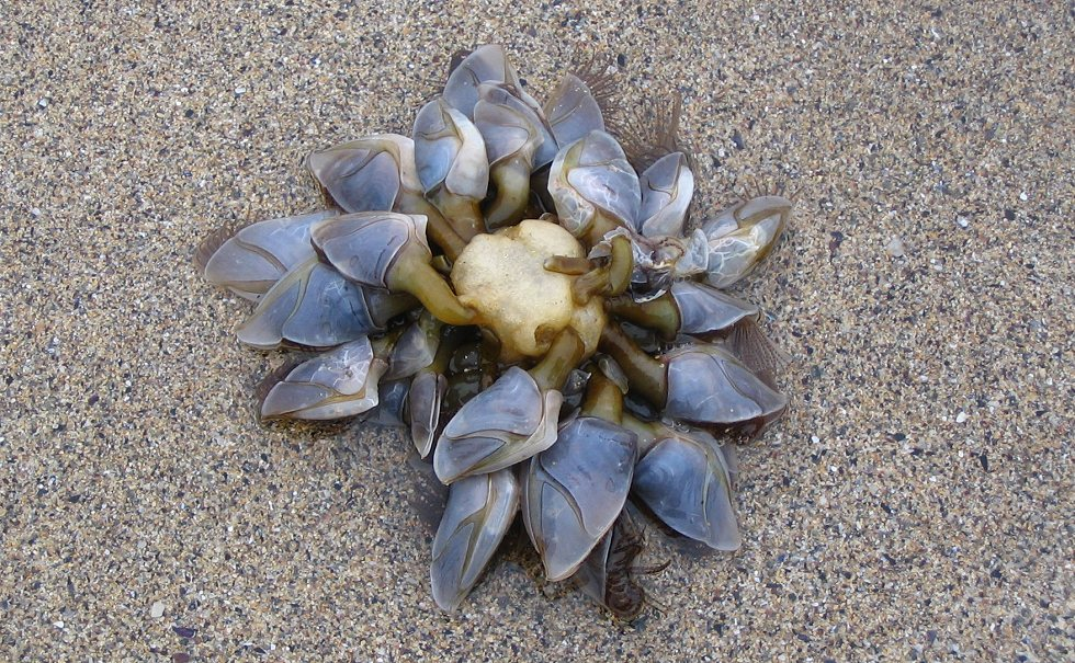 En samling af langhalse er skyllet op på stranden.