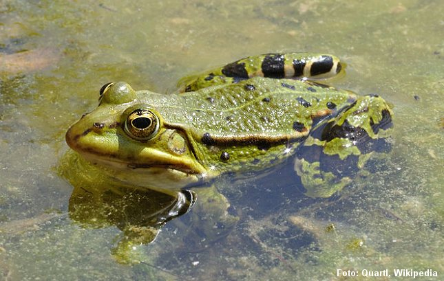 Latterfrø i en grøn version, der til forveksling ligner grøn frø.