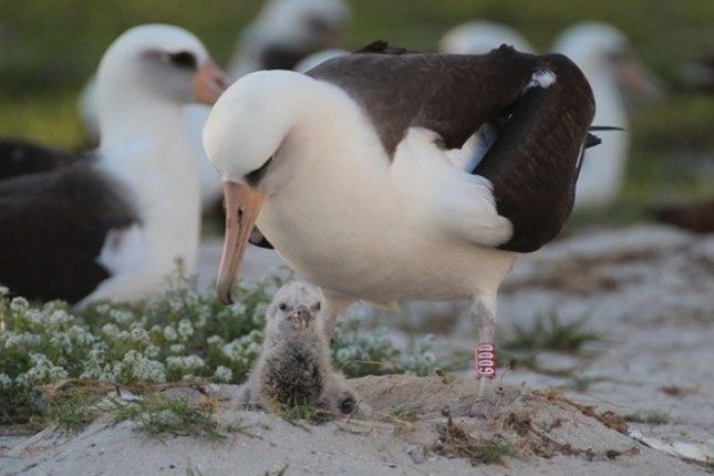 Laysan-albatrossen Wisdom er i en alder af 65 år igen blevet mor. Foto: US Fish & Wildlife Service.