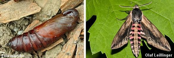 Larven forpupper sig i jorden. Inde i puppen sker der en fuldstændig forvandling, hvor larven omdannes til et flyvende insekt, der typisk bryder ud næste sommer. Fotos: Entomart.be (tv) og Olaf Leillinger (th).