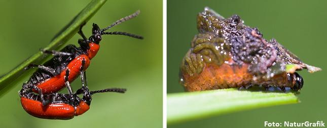 Til venstre: Liljebiller i parring. Til højre: Larven skjuler sig under sin egne eskrementer.