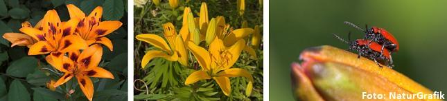 Har man liljer i haven er den smukke, men for liljerne fatale, liljebille også gerne at finde.
