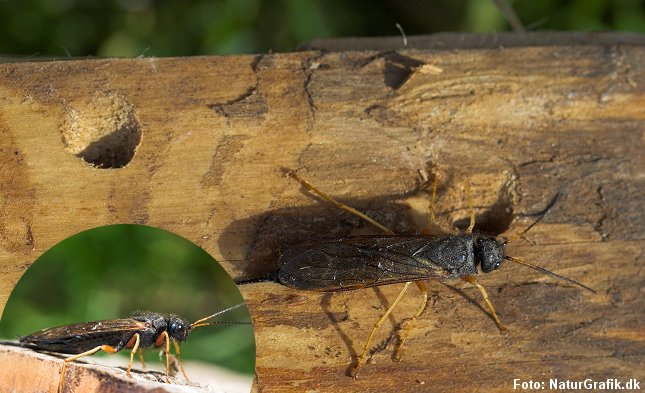 Runde udflyvningshuller lavetaf de nyudviklede træhvepse. Her blå træhveps (Sirex juvencus), der er lidt mindre end kæmpe-træhvepsen.