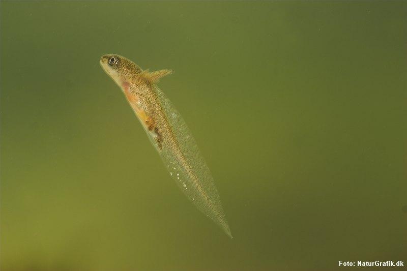 Larve af Lille vandsalamander