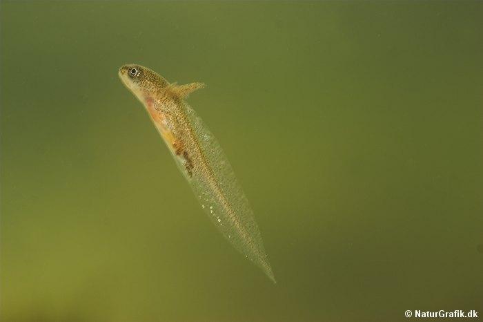 Salamander-larve