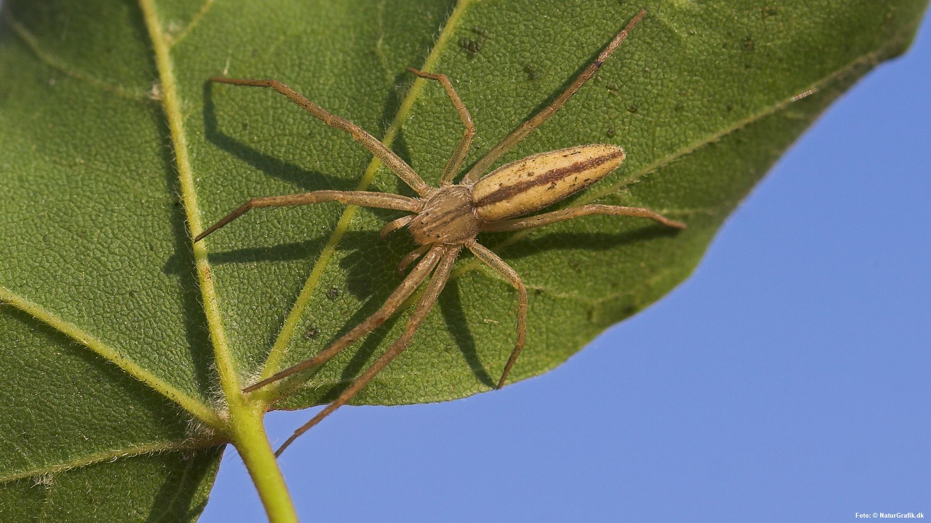 nye edderkopper i danmark