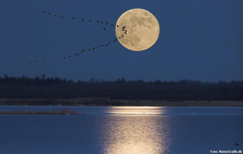 Trækkende gæs i fuldmåne.