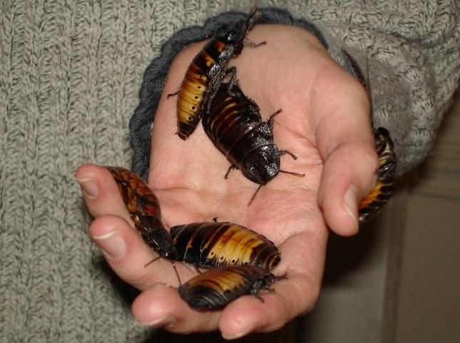Hvæsende Madagascar-kakerlakker, der holdes som kæledyr. Foto: Husond, CC BY-SA 3.0, Wikipedia.