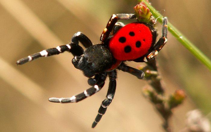 Mariehøneedderkop