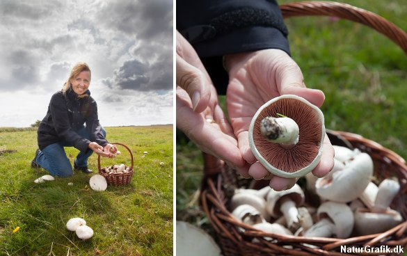 En lang, varm sommer efterfulgt af sensommerregn tegner godt for høsten af mark-champignon.