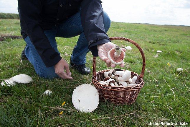 Markchampignon i naturen har højere indhold af D-vitamin end butikkernes dyrkede svampe.