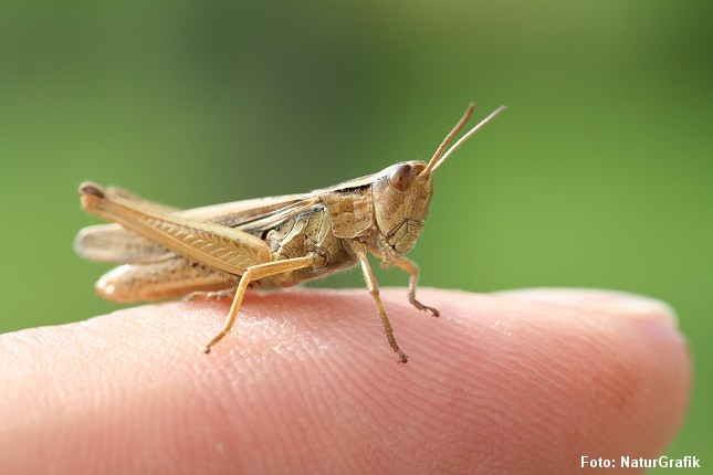 Markgræshoppe fotograferet på en finger.