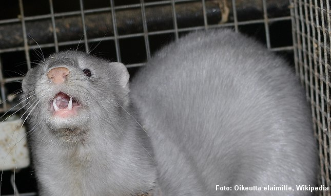 Nu vil også Holland stoppe minkfarme. Foto: Oikeutta eläimille, Wikipedia.
