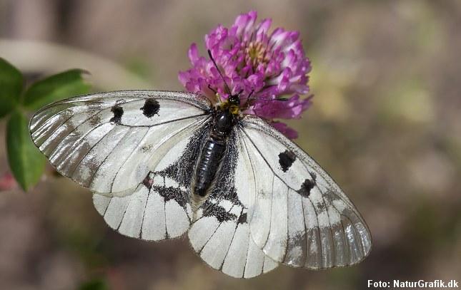 Sommerfuglene er i tilbagegang i Danmark og mange arter er helt forsvundet. Det gælder bl.a. mnemosyne-sommerfuglen.