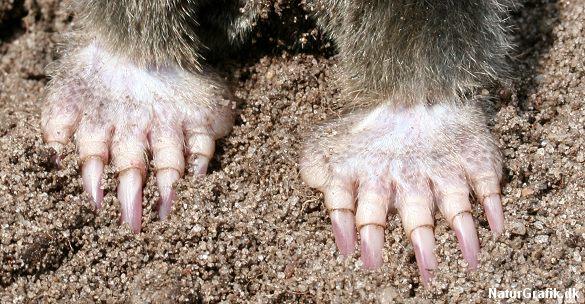 Muldvarpens brede gravekløer ligner en hel bjørnepote.