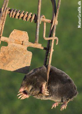 Muldvarp fanget i saks