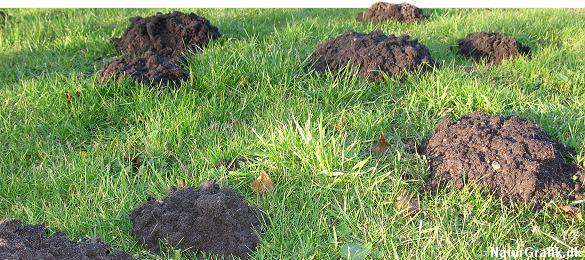 Når muldvarpen graver gange, skubbes jorden hen til en opstigende gang og presses op gennem jordoverfladen skiftevis med de to forpoter. Herved opstår de kendte muldvarpeskud.